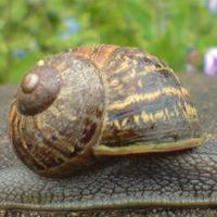 Les escargots de notre restaurant sont élevés à Fermanville à coté de Cherbourg